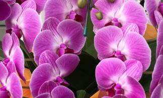 ピンクの胡蝶蘭の花言葉