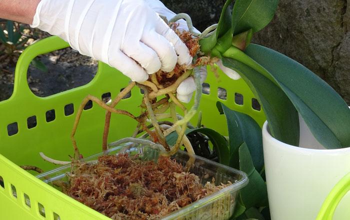 胡蝶蘭の植え替え・植え込み資材を押し当てる
