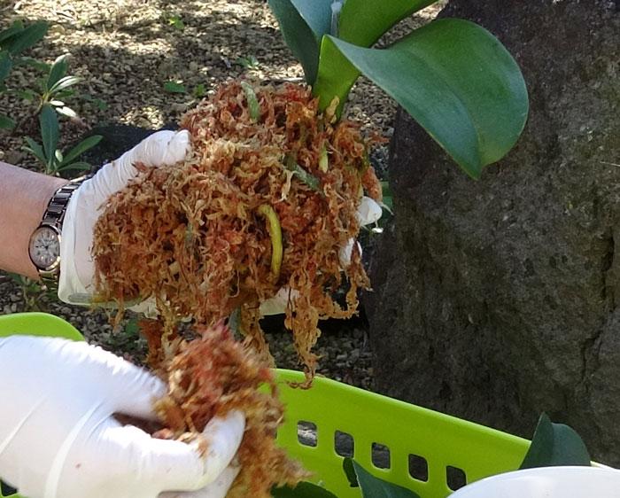 胡蝶蘭の植え替え・水苔で根を覆う