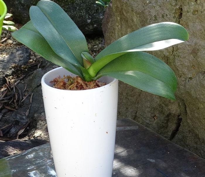 胡蝶蘭の植え替え・鉢に入れる