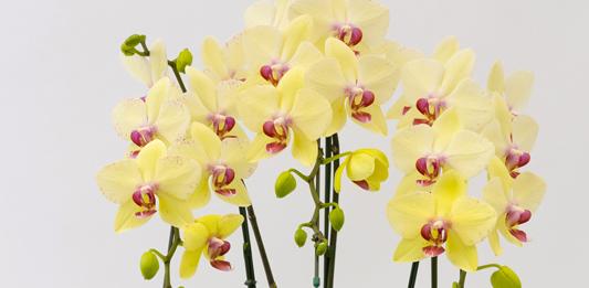 黄色の胡蝶蘭の花言葉