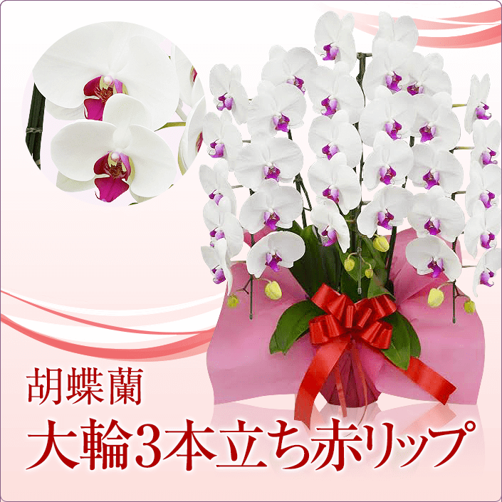 大輪胡蝶蘭3本立ち赤リップ