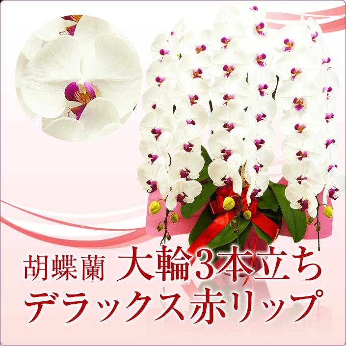 大輪胡蝶蘭3本立ちデラックス赤リップ