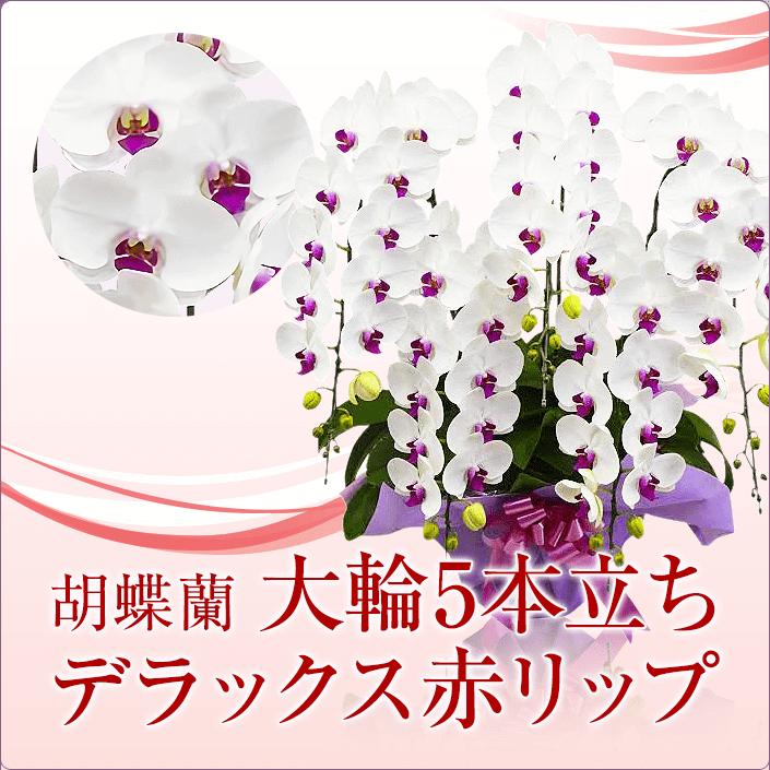 大輪胡蝶蘭5本立ちデラックス赤リップ