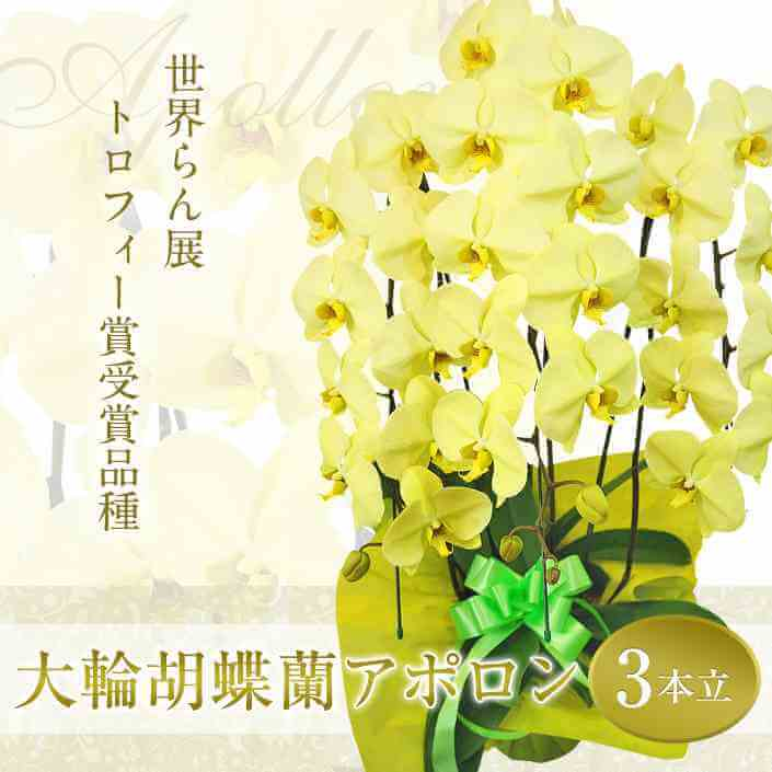 珍しい黄色の大輪胡蝶蘭「アポロン」