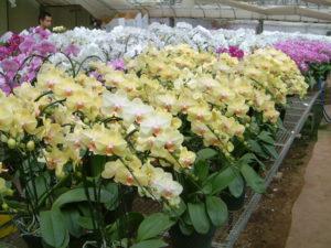 胡蝶蘭の花粉