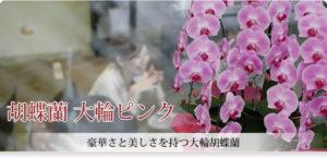胡蝶蘭 大輪ピンク