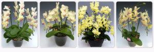 黄色のミディ胡蝶蘭は時期により若干異なります。
