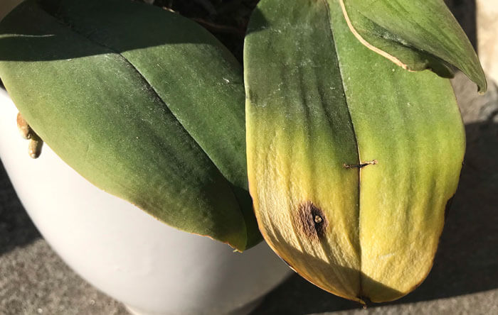 胡蝶蘭の葉焼け