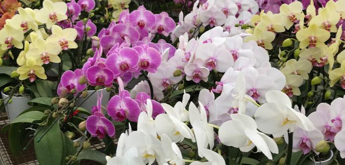 胡蝶蘭の写真