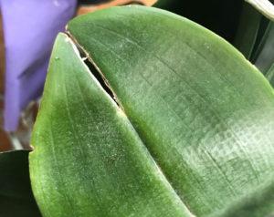 胡蝶蘭の葉が割れた
