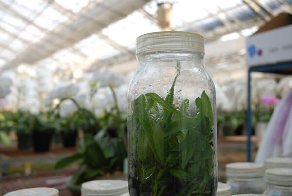 胡蝶蘭のフラスコ苗