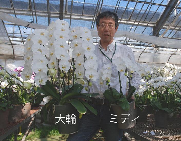 大輪胡蝶蘭とミディ胡蝶蘭