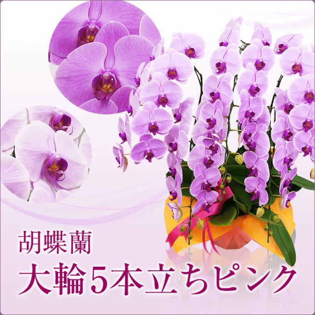 大輪胡蝶蘭5本立ちピンク