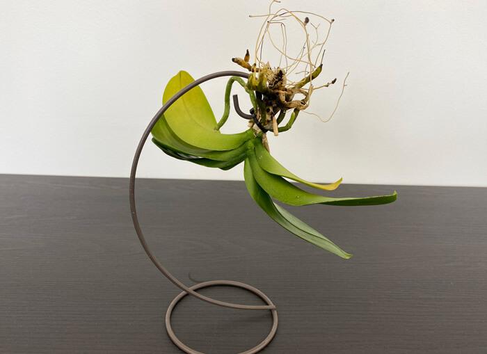 胡蝶蘭の空中栽培