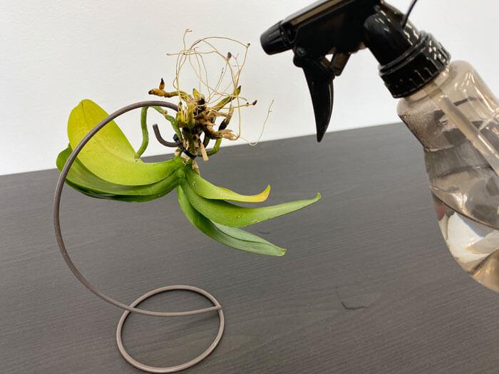 胡蝶蘭の空中栽培の水やり
