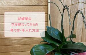 胡蝶蘭の花が終わってからの育て方