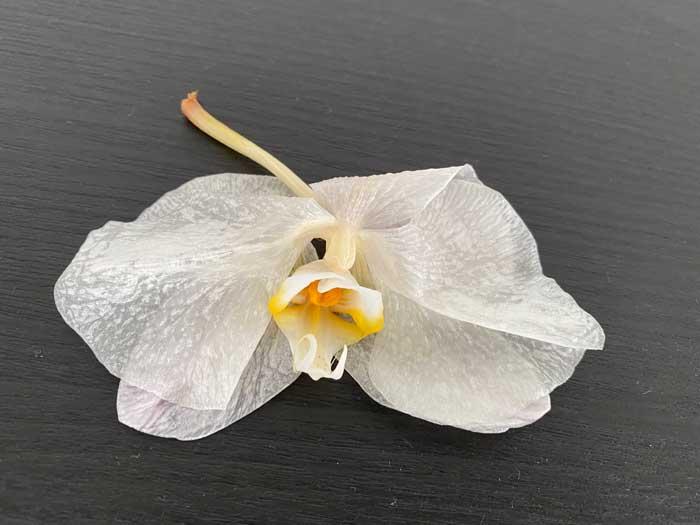 散った胡蝶蘭