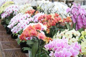 胡蝶蘭いろいろの写真