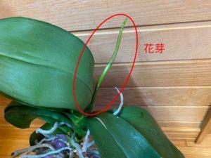 胡蝶蘭の花芽写真