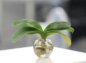 胡蝶蘭の水栽培