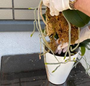 胡蝶蘭の株を取り出す