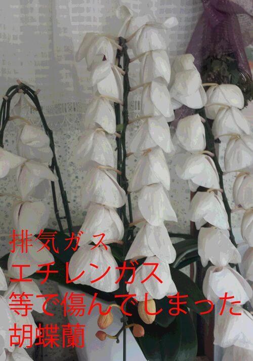 エチレンガス・排気ガスで傷んでしまった胡蝶蘭