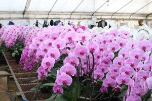 胡蝶蘭栽培の写真