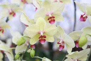 胡蝶蘭黄色の写真