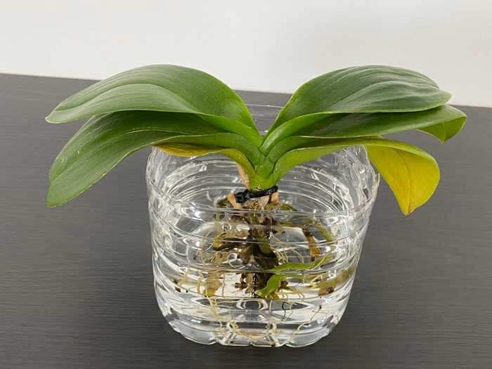 胡蝶蘭をペットボトルで水栽培