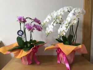 胡蝶蘭の名前の由来