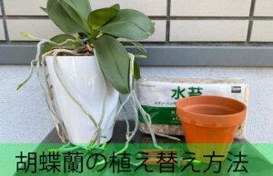 胡蝶蘭の植え替え方法